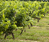 Winetwork - Quiz Grapevine Trunk Diseases